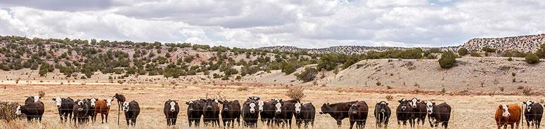 Cows Header